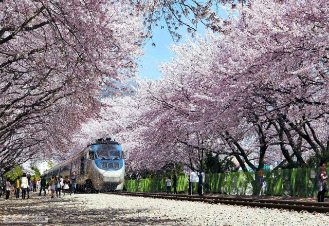 4 hoạt động nên làm khi du học Hàn Quốc vào mùa xuân