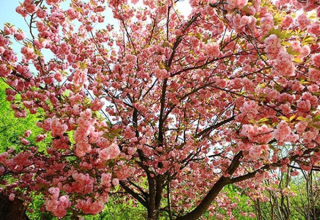 """""""Khám phá"""" hành trình lễ hội mùa xuân tháng 3 tại Hàn Quốc"""